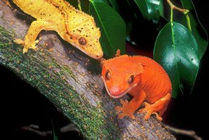 New Caledonia Crested Geckos